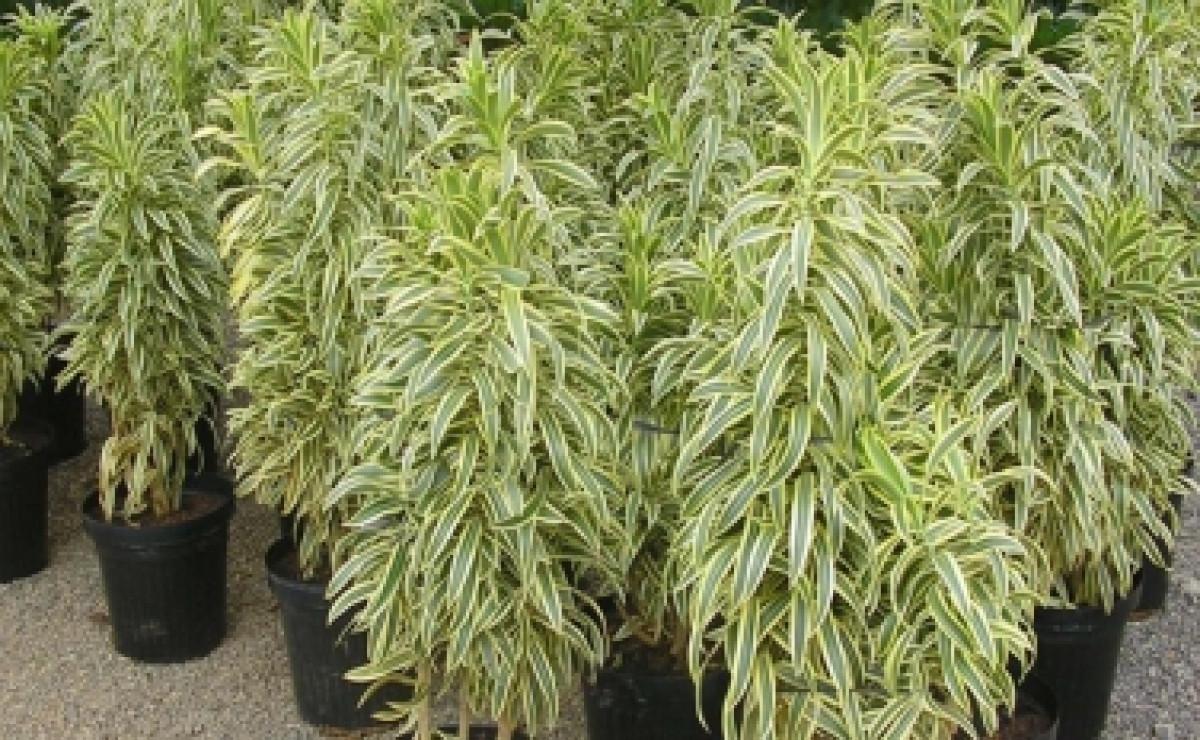 A Pleomele é uma planta para ambientes fechados conhecida, com folhas decorativas